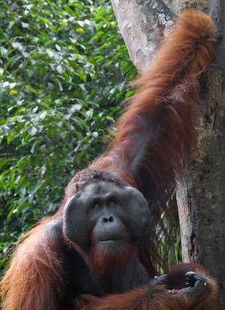 orangutang photo