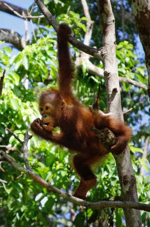 biped:    orangatang, in the wild Stock Photo