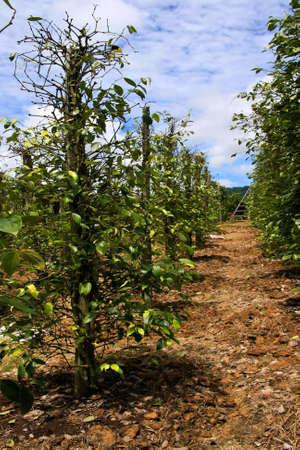 dicot: black, green and white pepper  in  Sarawak. Kuching, Sarawak, Borneo, Malaysia.  Stock Photo