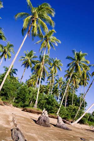 plam trees in sarawak borneo Banco de Imagens