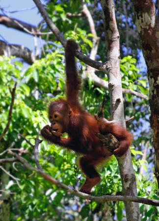 hominid: orangutan allo stato selvatico