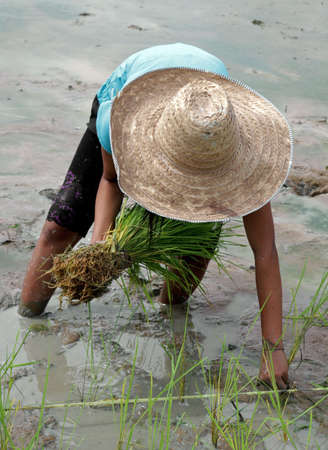 burdensome: planting rice