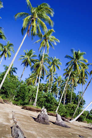 wind swept plam trees in sarawak borneo Banco de Imagens