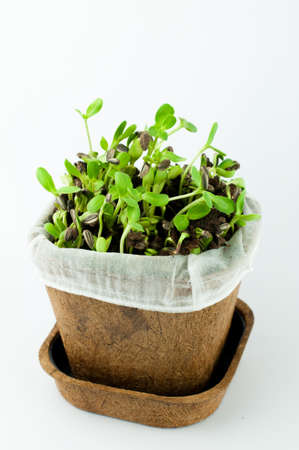 sunflower seeds: Organic New Born Sunflower Sprouts Growing on Black Soil in  a Pot Made from Plant Fiber in White Background Isolated