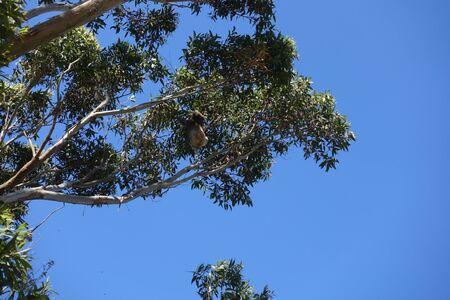 Koala climbing an eucalyptus tree Banco de Imagens