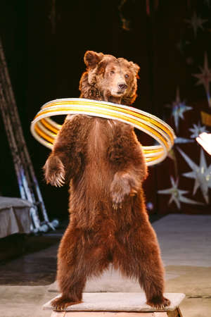 Zirkusbraunbär auf Rede in der Arena.