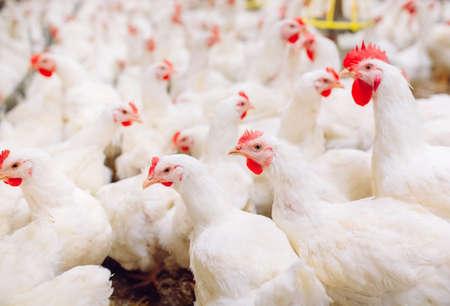 Granja de pollos en el interior, alimentación de pollos