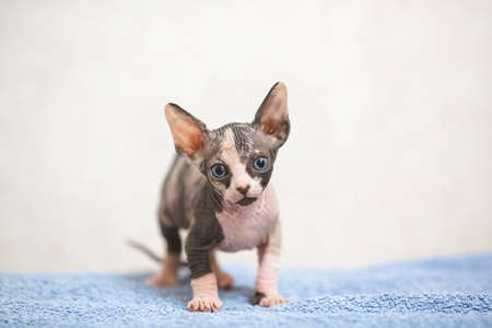 Hairless sphinx cat On a blue towel on a white background