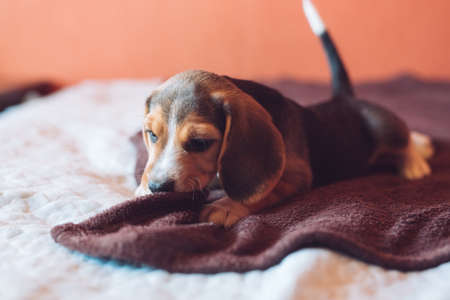 Two small hound Beagles dog playing at home on the bed Banque d'images