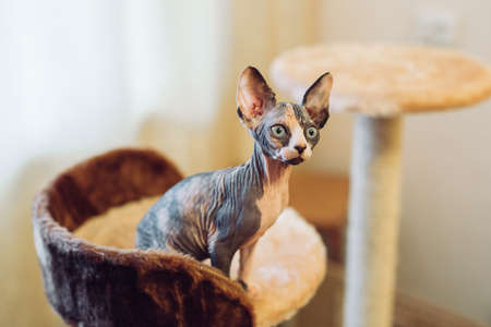Hairless sphinx cats in a soft house at home. Reklamní fotografie