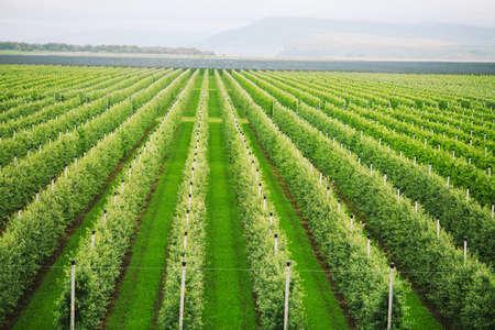Landwirtschaft. Reihen von Apfelbäumen wachsen.