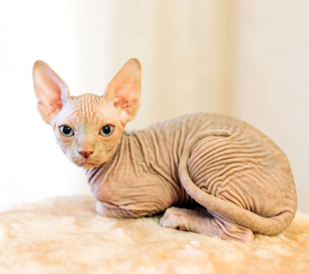 Hairless sphinx cat in short at home