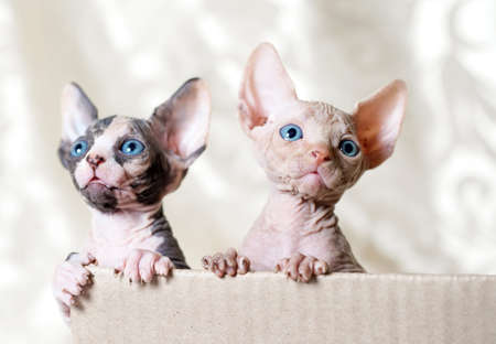 Hairless sphinx cats in short at home Reklamní fotografie