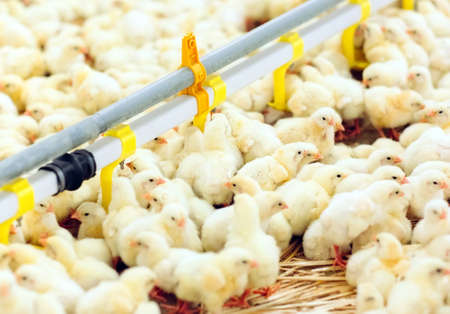 Indoors chicken farm, chicken feeding, large egg production Imagens - 128791807