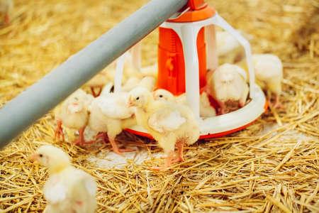 Indoors chicken farm, chicken feeding, large egg production Imagens