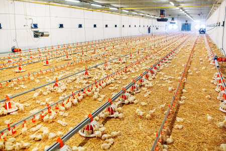 Indoors chicken farm, chicken feeding, large egg production Imagens - 128791896