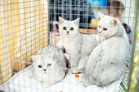 Exhibition or fair cats. Pedigreed cats in a cage.