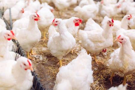 Binnen kippenboerderij, kippen voeren, grote eierproductie