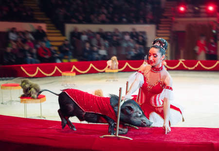 Funny pigs Performance in the Circus ring. Stock Photo