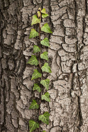 Weaving ivy on the bark of an old tree. natural texture, background, close-up.