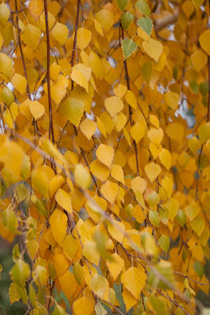 Yellowed birch leaves in the Park