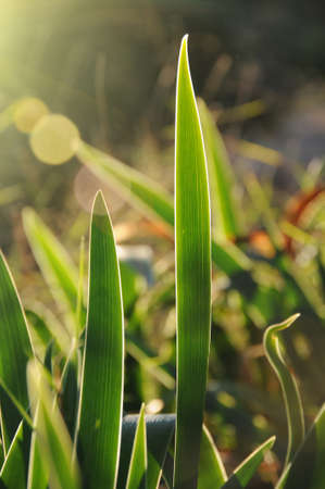 backlight without florar lilies Stock Photo
