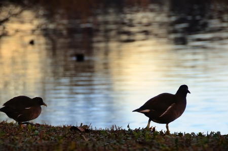 gallinule common in the lake backlit Stock Photo