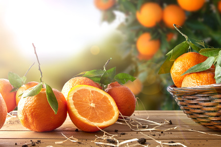 Sinaasappels groep vers geplukte in een mand en op een bruine houten tafel in een oranje bosje. Met een boom en tuin achtergrond met middagzon. Horizontale Samenstelling. Vooraanzicht. Stockfoto