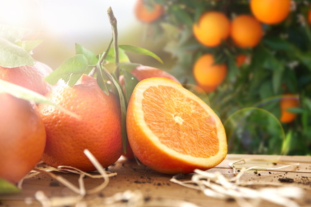 freshly picked: Oranges group freshly picked and section in a basket and on a brown wooden table in an orange grove. With a tree and garden background with afternoon sun. Horizontal Composition. Front view. Stock Photo