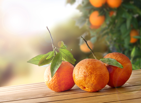 orange grove: Three freshly picked oranges on a brown wooden table in an orange grove. With a tree and garden background with afternoon sun. Horizontal Composition. Front view. Stock Photo