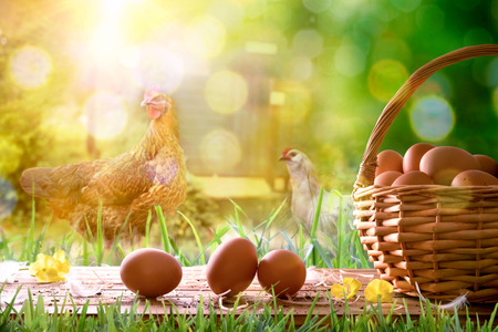 Freshly picked eggs in wicker basket on wooden base and background with chickens in the field and backlit sun. Front view. Horizontal composition.