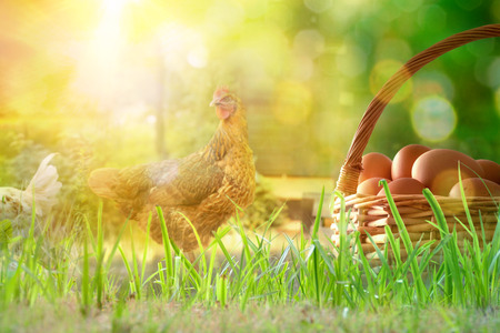 Freshly picked eggs in wicker basket on the grass and background with chickens in the field and backlit sun. Front view. Horizontal composition.