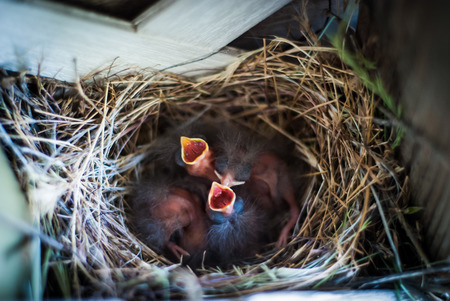 Hungry newborn birds wait for thier mother to return.
