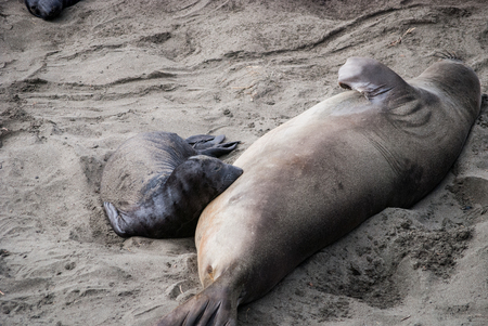 An elephant seal pup feeding from its mother.