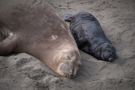 A mother and pup elephant seal with milk mustaches.