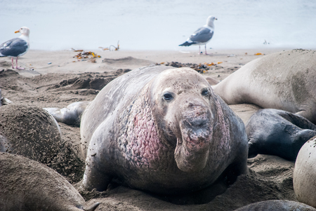Male Elephant Seal with his harem of females in San Simeon, California. Stok Fotoğraf