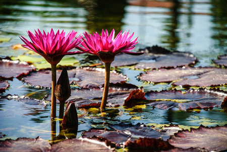 Water Lilies in a reflecting pool in Balboa Park, San Diego