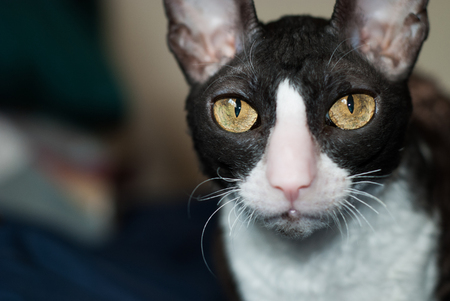 A cornish rex staring you down.