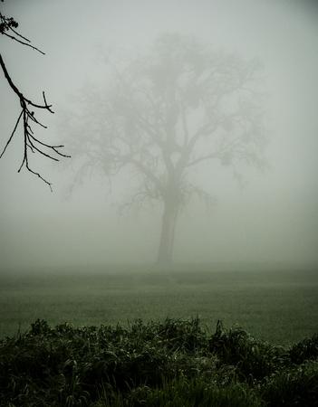 An oak tree in a field, on a foggy morning.