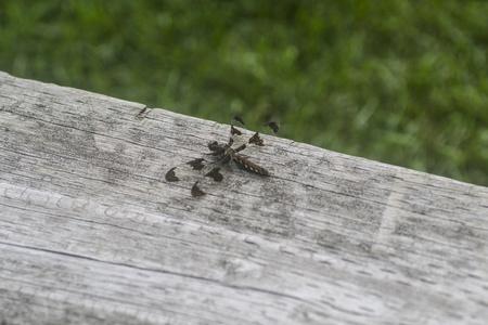 arachnoid: Libellula