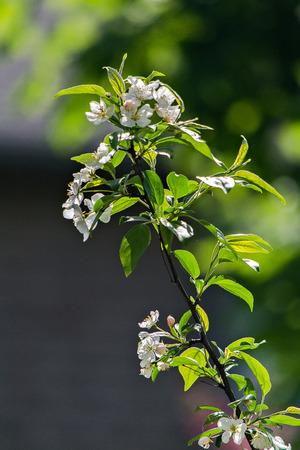 player bench: Cherry Blossom