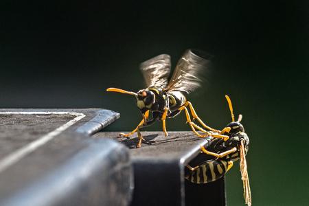 wood spider: Wasp