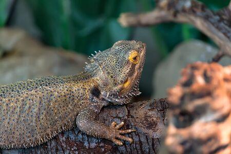 talons: Bearded-Dragon Stock Photo