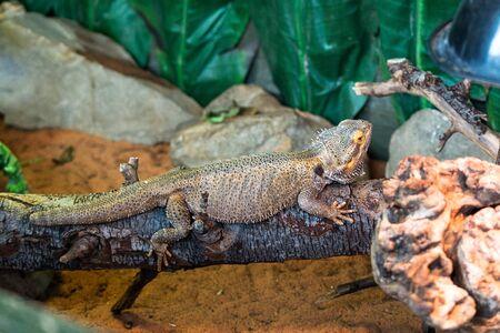 bearded dragon lizard: Bearded-Dragon Stock Photo
