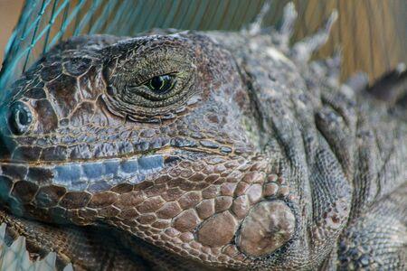 talons: Lizard