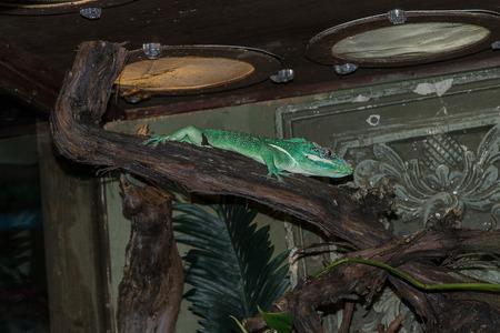bearded dragon lizard: anoles