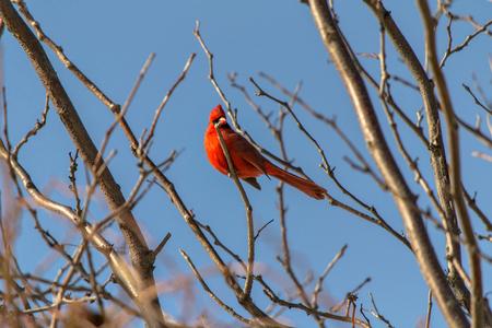 talon: Cardinal