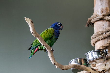 Blue-Crowned-Conure