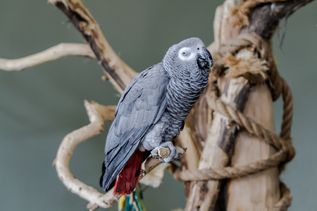 talon: Africa-grey-Parrot Stock Photo