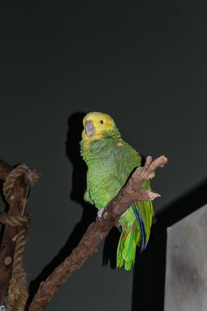 talon: Double-Yellow-Headed Amazon